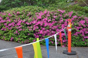 The teachers were happy to be back, and wore bright spring colors, some of them matching the purple azaleas.