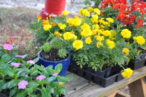 First thing in the morning, we were greeted with a reminder that there would be a great planting party today.  Marigolds, vinca, salvia and other plants stood ready for the planting pots.