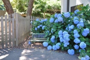 The hydrangeas beside the doors to Summer Scapes and the gate to Summer Days are out. The bench is the perfect place to take a picture on the first day.