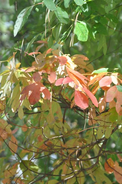 Here, the changing color brings our attention to the three different leaf shapes a sassafras has on each plant.