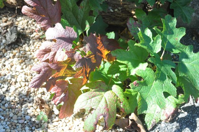 This oak leaf hydrangea is fun to watch throughout the year because of the colors in its leaves and in its blossoms.
