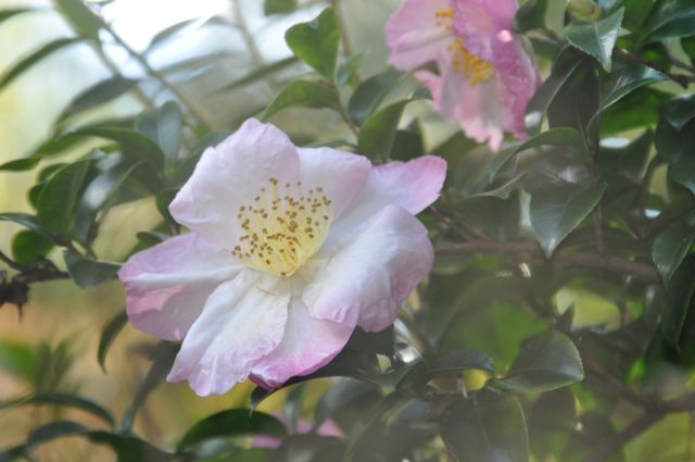 These Camelia Sasanqua are one of our first signs of fall---and such a delicate color. Who says summer colors are only for summer?