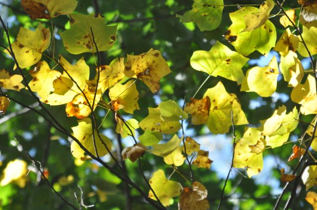 The shapes of the tulip poplar leaves are visible as they turn yellow. Would you call that a quatrefoil? Or a trapezoid?