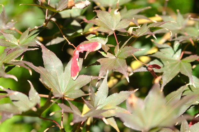 Bloodgood Japanese maple.