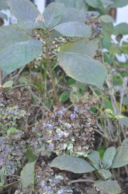 mophead hydrangea