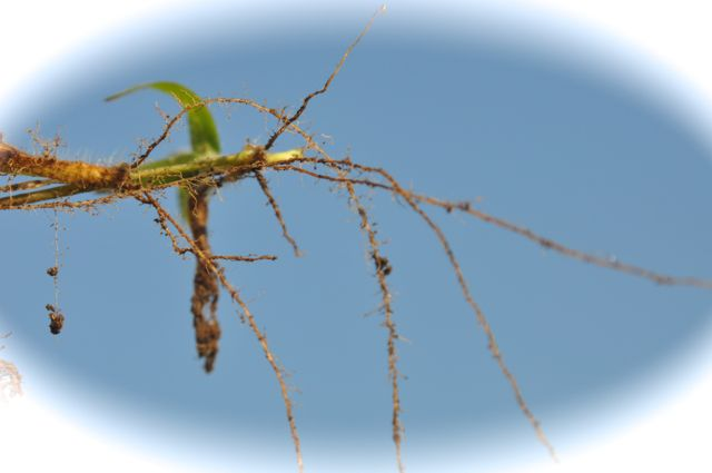 I saw how the roots of crabgrass spread with tiny branching structures under the soil.